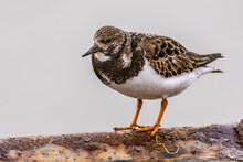 Ruddy Turnstone Shore Bird Feeding On Coast