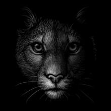 Cougar. Monochrome Portrait Of A Mountain Lion On A Black Background. Digital Vector Graphics.