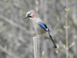 Garrulus glandarius Eurasian jay, jay, acorn jay - a species with the diameter of a bird from the crow family, inhabiting Eurasia and North-West Africa.