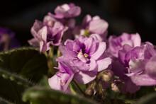Beautiful Flowering Purple Violet Flowers Are Close.