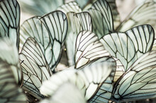 Cabbage Butterflies Close-up. High Quality Photo