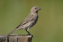 Female House Finch Bird Or Haemorhous Mexicanus Perched On Fence Post Against Green Background