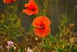 Mak polny  (Papaver rhoeas L.)