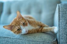 The Orange Cat At Home