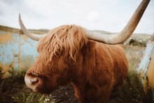 Hairy Cow Grazing In Corral