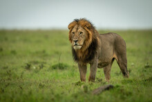 Male Lion Stands Staring Over Flat Grassland