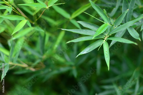 Murais de parede Nature landscape view of bamboos branch with natural light in blur style