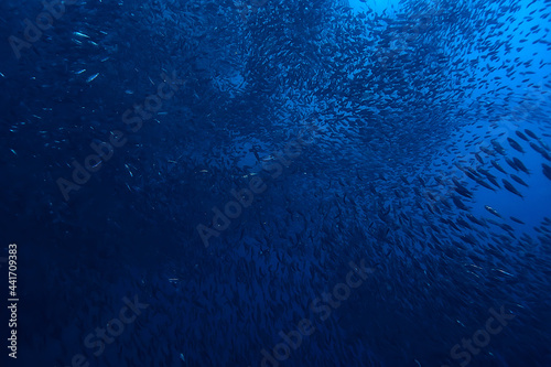 Fotografie, Obraz scad jamb under water / sea ecosystem, large school of fish on a blue background