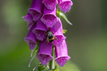 A Foraging Bee Hunts For Pollen In A Foxglove Plant