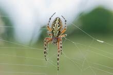 Ragno Foglia Di Quercia O Ragno Web Ruota Foglia Di Quercia (Aculepeira Ceropegia, Walckeneaer 1802 Syn. Araneus Ceropegia) è Un Ragno Dal Famiglia Del Orb Web Spider (Araneidae). Il Ragno Foglia Di