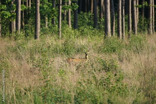 Sarna w lesie  w wysokiej trawie