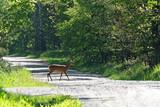 Sarna w lesie przechodzi przez drogę
