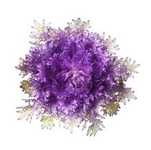 Purple Ornamental Kale Isolated. Decorative Cabbage