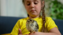 Girl With Smile Holds Chicken In Her Hand. Chicken Farm. Chicken Chick In Hand Of Girl. Cute Little Girl Is Play On Farm With Chick. Happy Girl Holding Chick In Her Arms. Child Working On Chicken Farm