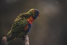 Rainbow Lorikeet Sitting On A Tree In The Rain.