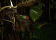 Zielono czerwony kameleon na tle tropikalnych roślin.