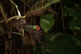Fototapeta Zwierzęta - Zielono czerwony kameleon na tle tropikalnych roślin.