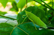 Zielony owad, konik polny siedzący na liściu, zbliżenie na zwierzę.