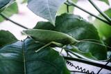 Fototapeta Zwierzęta - Zielony owad, konik polny siedzący na liściu, zbliżenie na zwierzę.