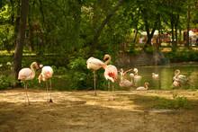 Flock Of Pink Flamingo Birds Near The Lake