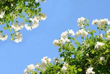 White Roses Under Blue Sky
