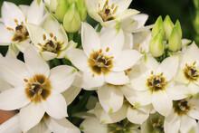 Blooming Chincherinchee In Sunny June