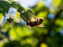 A Bee Sits On A Raspberry Flower