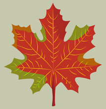 Red Maple Leaf In Yellow, Green Color On A Gray Background. Autumn Time. Canada Day. Decor.