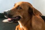 Fototapeta Zwierzęta - Brązowy domowy pies, zbliżenie na mordę na jasnym tle.