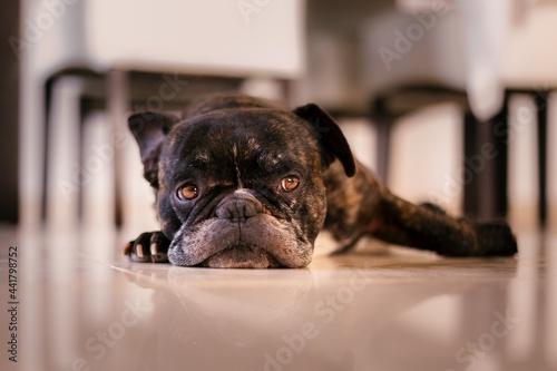 Tablou Canvas Close-up Portrait Of Black Dog At Home