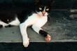 Czarno biały piękny kot na ulicy.