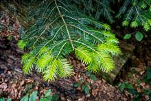 New Spruce Needles, Primeval Forest Stuzica, Poloniny, Slovakia