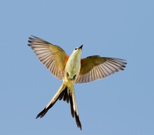 Scissor-tailed Flycatcher (Tyrannus Forficatus) Flying, Galveston, Texas, USA.