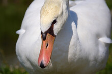 Close Up Of The Head, Neck And Beak Of A White Swan Bending Down In Nature