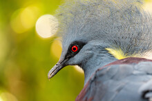 Crowned Pigeon Head Close Up. Blue Crowned Pigeon On A Summer Sunny Day In The Forest.