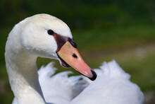 Close Up Of The Head, Neck And Beak Of A White Swan, In Nature Against A Green Background