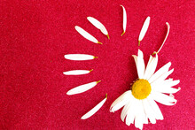 Chamomile On A Bright Red Background. White Flower. Copy Space. Divination By Flowers. Chamomile Petals. Glitter.