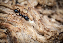 Macro Shot Of A Black Garden Ant Holding Its Victim Firmly
