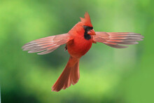 Northern Cardinal Mid Air Antics And Landing On Spruce To Eat Bird Seed In Summer Evening