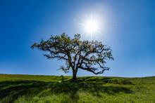 USA, California, Walnut Creek, Sun Shining Above Single California Oak Tree In Green Field In Springtime