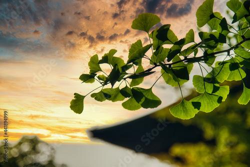 Fototapeta さわやかな夕暮れに映える、青イチョウの葉陰の美しい風景