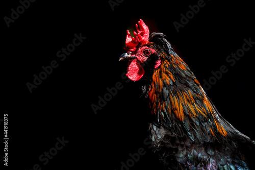 Cuadros en Lienzo Barnevelder cockerel rooster chicken