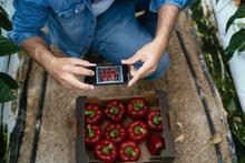 Male Gardener Taking Photo Of Ripe Peppers