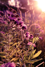 Autumn Wild Grass And Flowers On A Meadow In The Rays Of The Golden Hour Sun. Seasonal Romantic Artistic Vintage Autumn Field Landscape Wildlife Background With Morning Sunlight