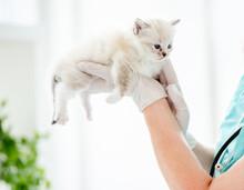 Ragdoll Kitten At Veterinerian Clinic