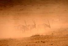 Oryx Beisa Antilope Samburu Afrique Kenya