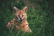 Serval In Grass