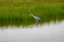 Gray Heron On A Lake With Green Grass Looking For Food