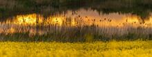 Beautiful Rapeseed Field Sunset, Panorama, Poland