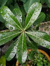 Dew On A Green Natural Leaf